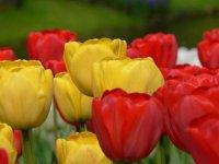 holandia_kwiaty2
